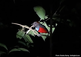 Red-bellied Pitta (Erythropitta maklotii)