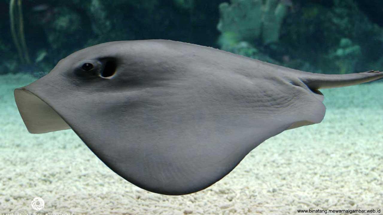 Download 530 Gambar Lukisan Ikan Pari HD Terbaik
