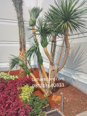 pohon pandan bali murah