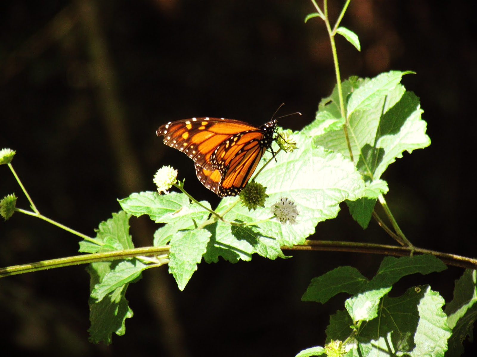 A magical monarch butterfly in the woodland of Hammock Park in Dunedin, Florida