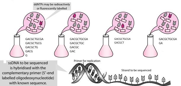 DNA elongation