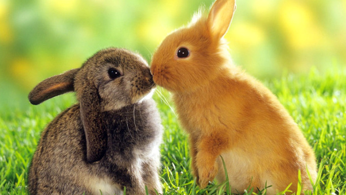 10 hewan peliharaan untuk anak-anak, Kelinci, harga kelinci, kelinci kartun, kelinci raksasa, jenis kelinci, ciri ciri kelinci, kelinci adalah, deskripsi kelinci, nama latin kelinci, funny pet