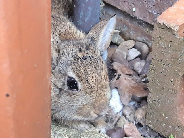 A brown baby rabbit hiding behind a terracotta water butt
