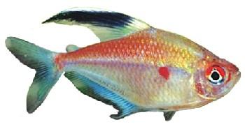 Peixe Rosáceo (Hyphessobrycon erythrostigma)