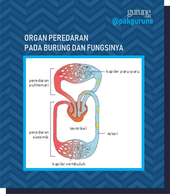 Organ Peredaran Darah pada Burung dan Fungsinya
