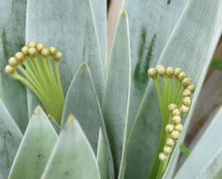 Paepalanthus villosulus