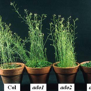 Ritmos circadianos en vegetales