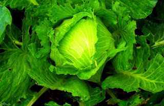Cabbage Garden Culture and Uses