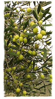 маслина с оливками