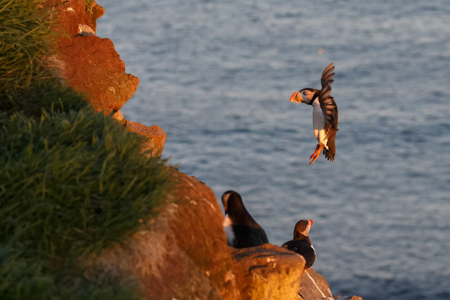 Puffins in Látrabjarg, in the Westfjords of Iceland