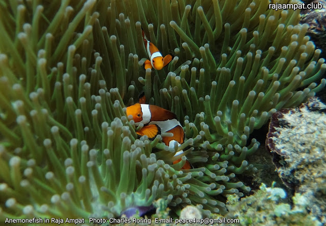 Anemonefish in coral reef of Raja Ampat