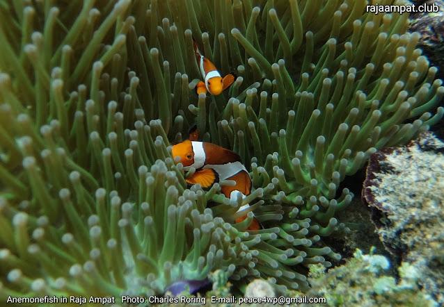 Anemonefish in coral reef of Raja Ampat