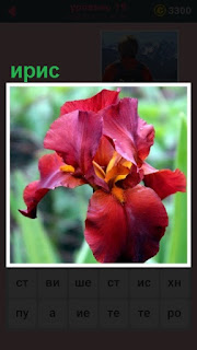 в саду распустился цветок ирис красного цвета