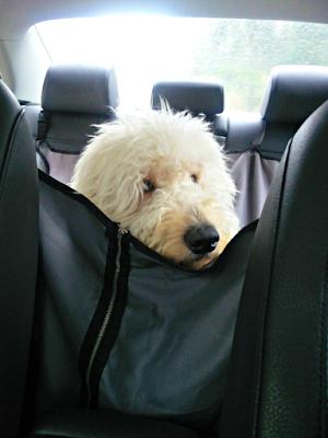 Buddy on his way to petsitter