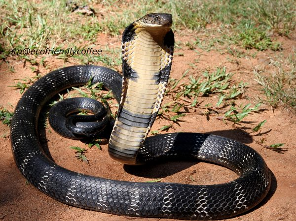 sperm King cobra