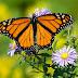 Giải mã: Loài bướm bay vào nhà báo hiệu điều gì? Tốt hay xấu?