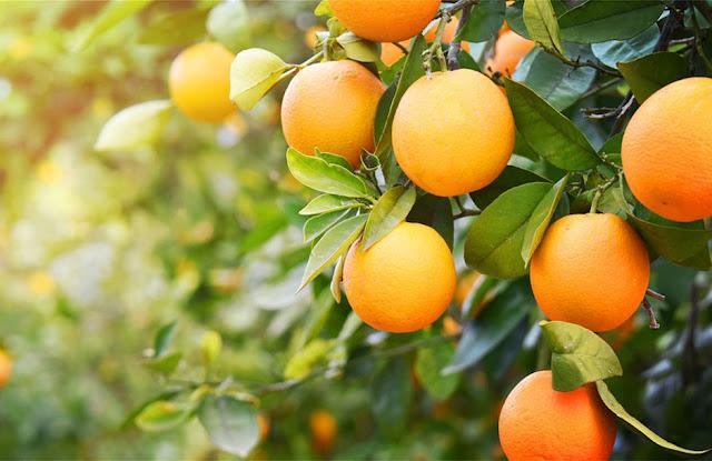 Ναβαλίνες: Μείωση της παραγωγής στην Αργολίδα σε ποσοστό 40%  - Οι τιμές 28 μέχρι 30 λεπτά το κιλό