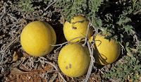 fruto de la coloquíntida