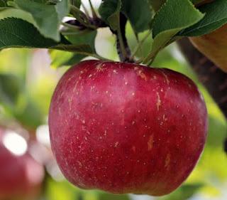 صوص تفاح