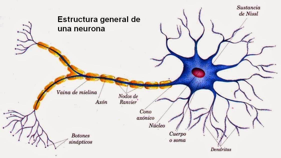 NEURONAS Y CELULAS GLIALES PDF DOWNLOAD