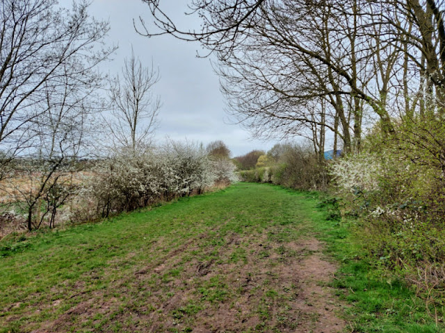 A wide grassy path bordered by white flowering bushes