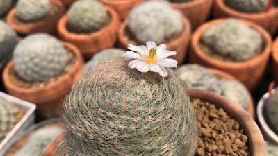 ดอกแมมเลนต้า ราชินีของแมมมิลลาเรีย