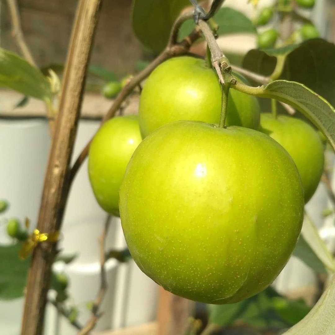 Harga Hemat! Bibit Apel India Putsa Tanaman Buah Hidup sudah berbunga Kota Malang #jual bibit buah buahan