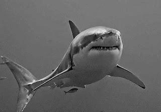 تعرف على سمكه القرش الابيض الكبيرCarcharodon
