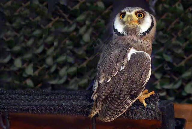 birds, owl, Naha, Okinawa