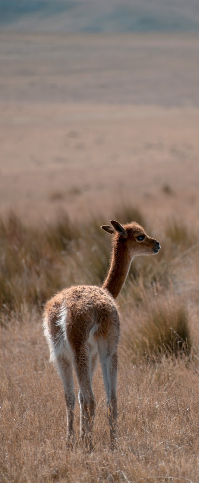 Picture of a vicuna.