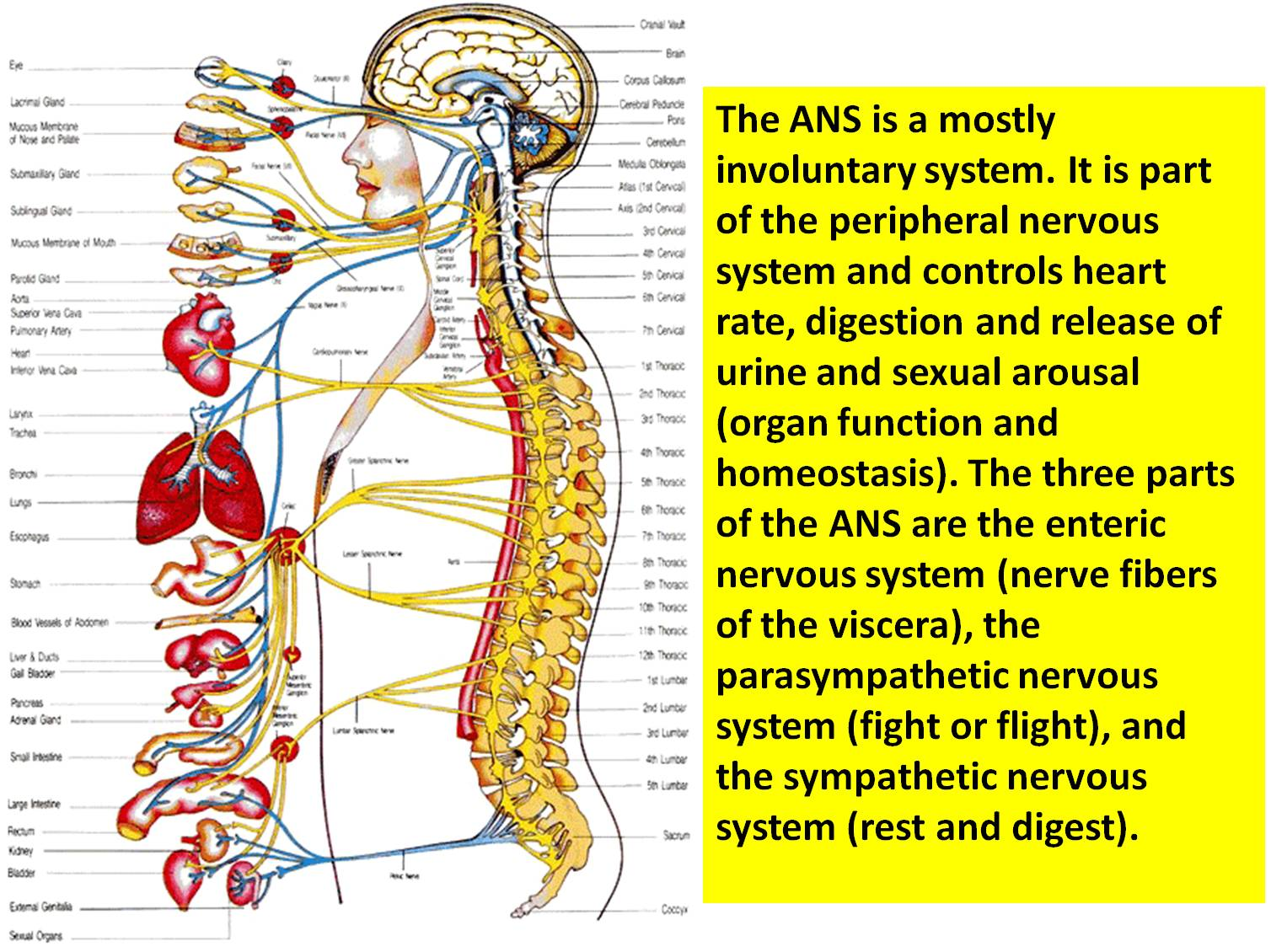 Diseases of the Endocrine and Nervous System  Major Nervous System Disorders