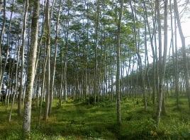 Viral Mati Lampu Gara-Gara Pohon Sengon