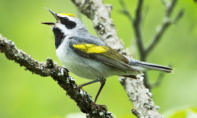 webler bird