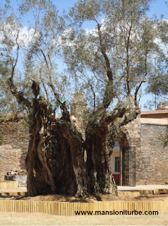 Olive Trees in Tzintzunzan