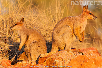 Wallaby rocoso cuello púrpura (Petrogale purpureicollis)