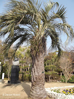 Yatai palm tree, Samuel Cocking Garden - Enoshima Island, Japan
