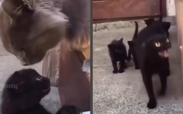 Видео: мать-кошка восхитила Сеть, защитив котенка