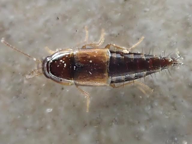 Tachyporus nitidulus