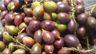 gambar buah matoa