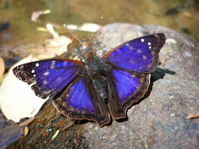 Mariposa índigo (Doxocopa kallina)