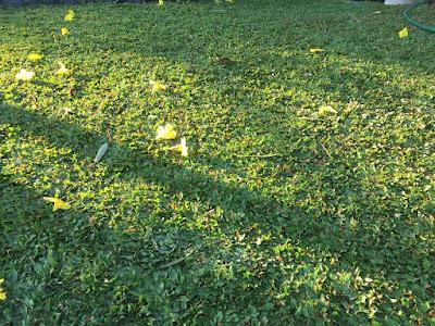 Harga Rumput Gajah Mini