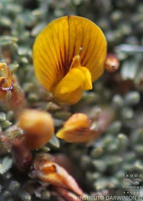 Cuerno (Adesmia nanolignea)