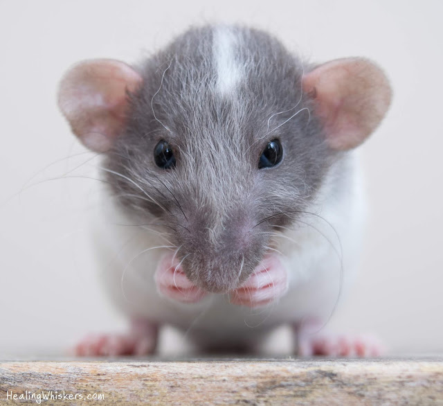 Vincent the therapy rat as a baby