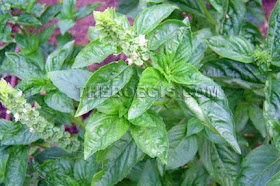 Benefits of basil leaves for health and ejaculation