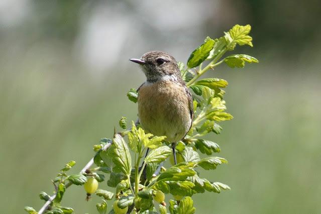 Kląskawka samica