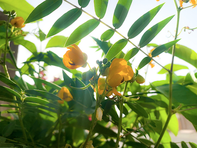 Yellow Coffee senna flowers with sunlights stock image