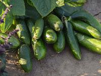 Waring Sayur Untuk Pengemasan Hasil Panen Mentimun
