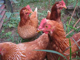 hens in Costa Rica