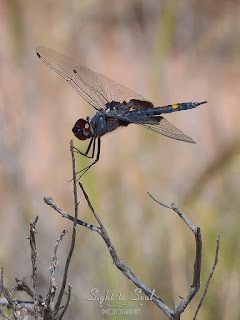 Male Black Saddlebags Dragonfly (Tramea lacerata)