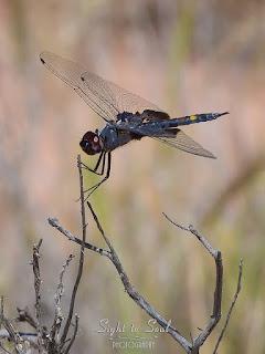 Male Black Saddlebags Dragonfly (Tramea lacerata)